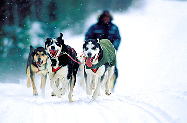 Sledge dogging, Quebec province, Canada