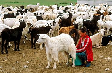 Girl milking a goat, Ovorkhangai province, Mongolia