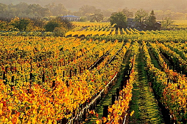 Sunset light over vineyards in fall along the Silverado Trail near Oakville, Napa County, California, USA