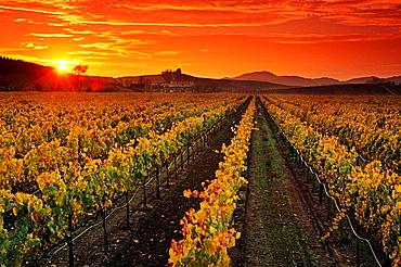 Vineyards and sunset, Carneros Region, Napa County, California, USA