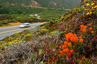 Highway One 1 below Indian Paintbrush and other wildflowers in bloom on hillside along the Big Sur Coast, Monterey County, California, USA