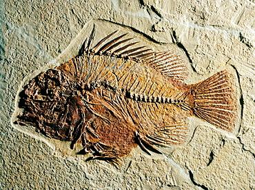 Fossil fish (Priscacara sp.), Eocene, Wyoming, USA