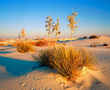 Yucca plant, White Sands National Monument, New Mexico, USA