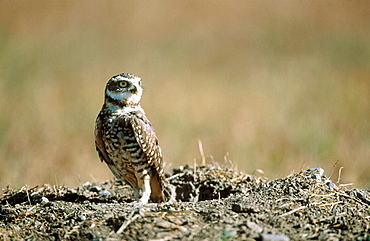 Burrowing owl (Speotyto cunicularia)