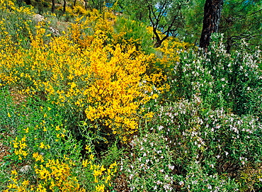 Rosemary and gorse flowers, Cazorla mountains, Jaen province, Spain
