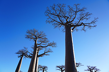Allee des Baobabs (Avenue of the Baobabs), Morondava, Menabe region, Western Madagascar, Africa
