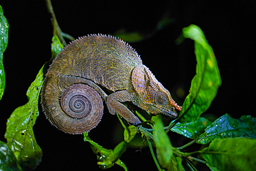 Nose-horned (Big-nosed) Chameleon (Calumma nasutum), Parc National de Ranomafana, Ranomafana, Central Madagascar, Africa