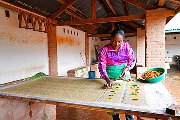 Antemoro paper atelier, a flower-embedded paper, Ambalavao, Fianarantsoa province, Ihorombe Region, Southern Madagascar