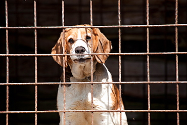 Dog in a cage, Belluno, Italy, Europe