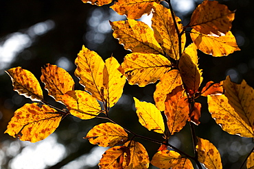 Beech leaves with autumn colours in the Cansiglio forest, Belluno, Veneto, Italy, Europe