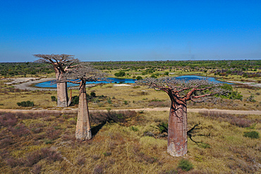 Baobab trees (Adansonia grandidieri), Madagascar, Africa