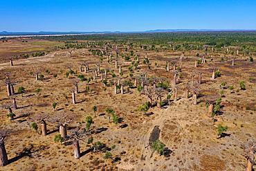 Baobab forest near Ambahikily Morombe district, Atsimo Andrefana Region, Madagascar, Africa