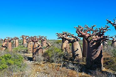 Baobab forest near Morombe, Atsimo Andrefana Region, Madagascar, Africa