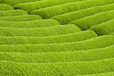 Rows of green tea bushes growing on the Makinohara tea plantations in Shizuoka, Japan