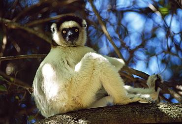 Verreaux's Sifaka (Propithecus verreauxi) sitting on tree in dry deciduous forest, Berenty Reserve, Southern Madagascar, Africa