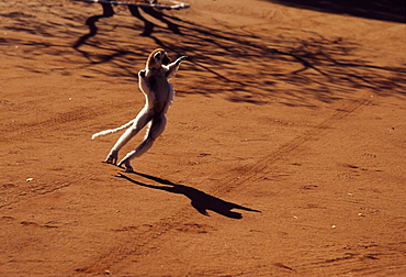 Verreaux's Sifaka (Propithecus verreauxi), hopping on ground, Berenty Reserve, Southern Madagascar, Africa