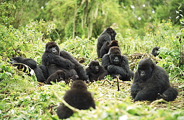 Mountain Gorillas (Gorilla gorilla beringei), silverback male resting with group, Virunga Volcanoes, Rwanda, Africa