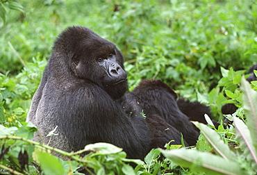 Silverback male Mountain Gorilla (Gorilla g. beringei), Virunga Volcanoes, Rwanda, Africa