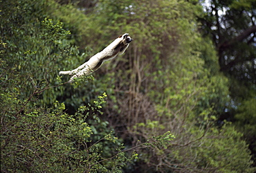 Verreaux's Sifaka (Propithecus verreauxi) leaping from a tree, Berenty Reserve, Southern Madagascar, Africa
