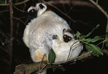 Verreaux's Sifaka (Propithecus verreauxi) mother with baby clinging to her back, sitting on tree, Berenty Reserve, Southern Madagascar, Africa