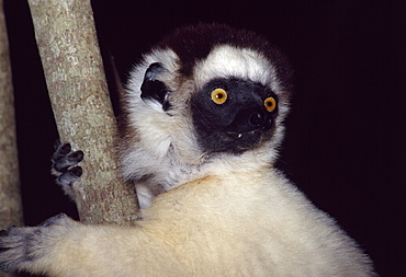 Portrait of a Verreaux's Sifaka (Propithecus verreauxi) sitting on tree, Berenty Reserve, Southern Madagascar, Africa