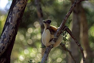 Golden-crowned Sifaka (Propithecus tattersalli), an endangered species,resting on tree, Daraina, Northern Madagascar, Africa