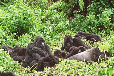 Mountain Gorillas (Gorilla gorilla beringei), silverback male with group resting, Virunga Volcanoes, Rwanda, Africa
