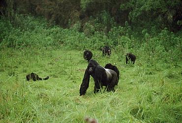 Mountain Gorillas (Gorilla g. beringei) silverback male with family group, Virunga Volcanoes, Rwanda, Africa