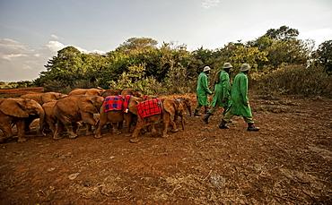 Keepers lead elephants (Loxodonta africana) back from the park into the David Sheldrick Elephant Orphanage at night, Nairobi, Kenya, East Africa, Africa