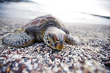 A Pacific green turtle, on the beach, Galapagos Islands, UNESCO World Heritage Site, Ecuador, South America - 824-55