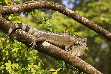 A green iguana (Iguana iguana) (common iguana) (American iguana), in the jungle of Costa Rica, Central America