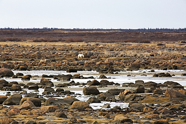 Alert polar bear (Ursus maritimus) on the rocky, sub-arctic shoreline of the Hudson Bay north of Churchill in Manitoba, Canada, North America
