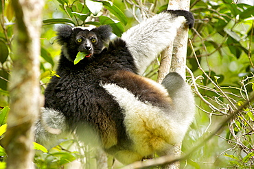 Indri (Indri indri) eating leaf whilst hanging in a tree in the Andasibe-Mantadia National Park in eastern Madagascar, Madagascar, Africa