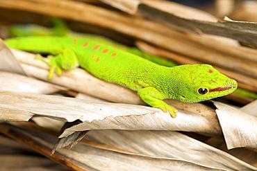 Madagascar day gecko (Phelsuma madagascariensis madagascariensis) in eastern Madagascar, Madagascar, Africa