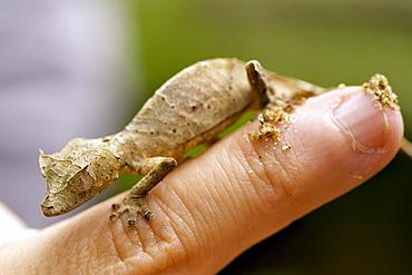 Satanic leaf-tailed gecko (Uroplatus phantasticus) on a man's finger in eastern Madagascar, Madagascar, Africa