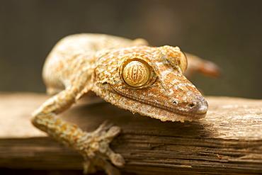 Giant leaf-tailed gecko (Uroplatus fimbriatus) in eastern Madagascar, Madagascar, Africa