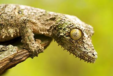 Mossy leaf-tailed gecko (Uroplatus sikorea) on a piece of bark in eastern Madagascar, Madagascar, Africa