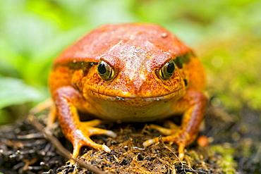 Tomato frog (Dyscophus antongilii) in eastern Madagascar, Madagascar, Africa