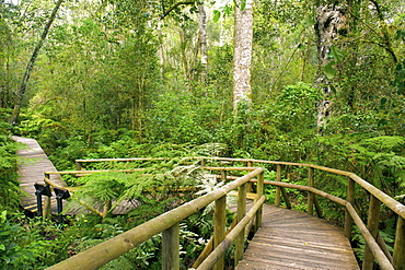 The Garden of Eden forest walk in the Tsitsikamma forest near Plettenberg Bay on the Garden Route, Western Cape, South Africa, Africa