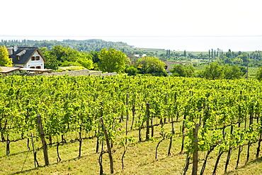 Vineyards on the north shore of Lake Balaton, Hungary, Europe