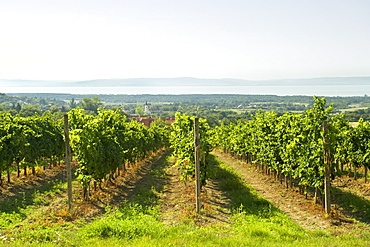 Vineyards of the Dorgicse area near Lake Balaton in Hungary, Europe