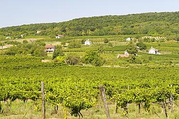 Vineyards of Kaptalantoti near Lake Balaton, Hungary, Europe