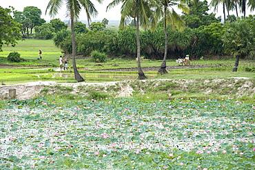 Lotus flowers along the East Coast Road near Pondicherry India