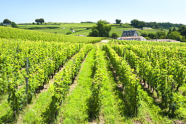 Vineyards of the St.-Emilion region in the Gironde department in Aquitaine, southwestern France, Europe