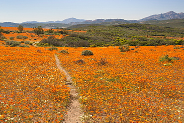 The Korhaan walking trail through fields of flowers in the Namaqua National Park in South Africa.