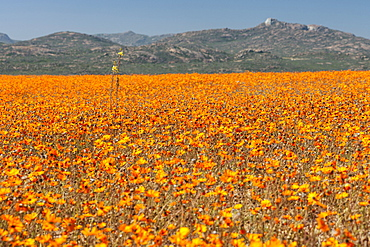 Daisies and other flowers in the Namaqua National Park in South Africa.