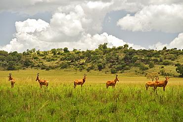 Jackson's hartebeest in Kidepo Valley National Park in Uganda.