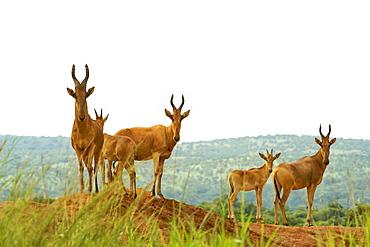 Jackson's hartebeest in Murchison Falls National Park in Uganda.