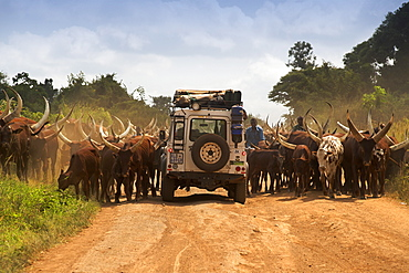 Land Rover Defender driving through a herd of Ankole cattle on a dirt road in Uganda.