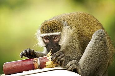 Vervet monkey (Chlorocebus pygerythrus) eating sugar cane in Uganda.